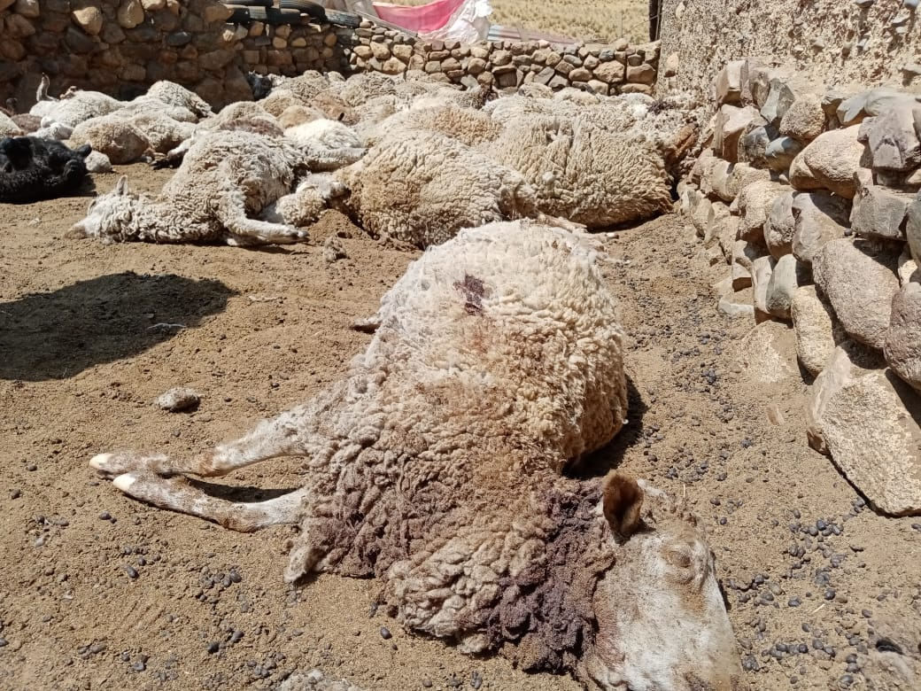Una jauría de perros salvajes atacó nuevamente al ganado de comunarios de  Milluni Bajo – Exito Noticias